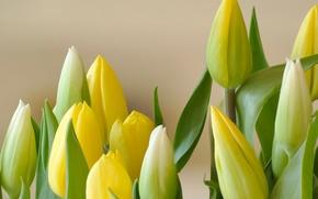 Обои тюльпаны, букет, бутон, лепестки