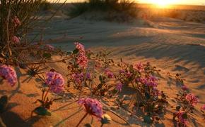 Обои sunrise, sunset, desert, flower, пустыня