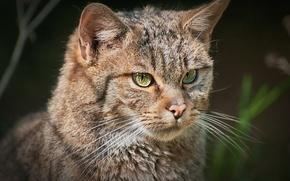 Картинка взгляд, фон, портрет, европейский лесной кот