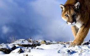 Обои взгляд, хищник, снег, пума