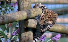 Картинка игра, забор, хищник, леопард, котёнок