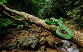 Картинка лес, ручей, змея, ветка, живая природа