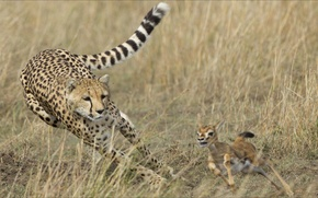 Картинка oops, two, Animals, gepard, diar