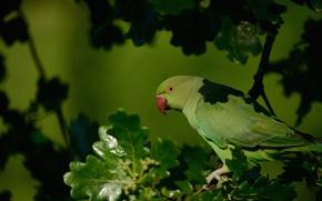 Картинка Ожереловый попугай Крамера, дерево, ветка, дуб, птица, попугай, Индийский кольчатый попугай