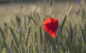 Картинка field, bokeh, grain, poppy seed