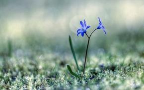 Обои цветы, Пролески, трава, весна