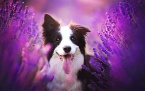 Картинка язык, взгляд, морда, цветы, собака, лаванда, Бордер-колли
