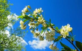 Картинка вишня, ветка, весна, цветение, blossom