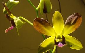 Картинка flowers, macro, orchid