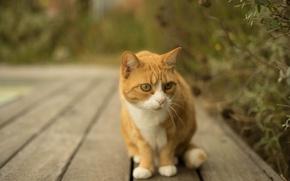 Картинка кот, усы, рыжий, белые лапки