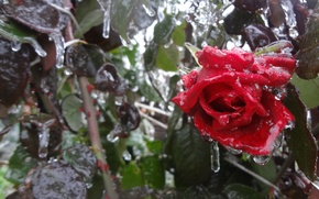 Картинка холод, лед, листья, цветы, розы, красная