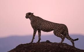 Обои закат, гепард, охотник