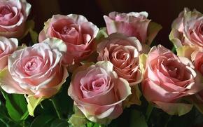 Картинка розовый, розы, бутоны