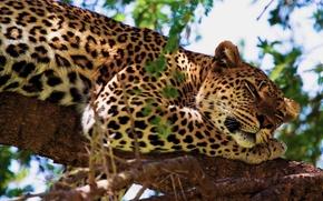 Обои леопард, отдых, дерево, лапа