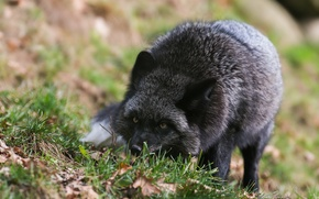 Картинка лиса, Чёрно-бурая лисица, чернобурка