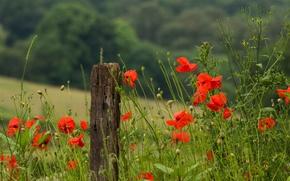 Картинка цветы, макро, poppies, красные, трава, стебли, тепло, лепестки, поле, маки, лето, зеленая, nature