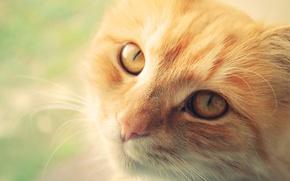 Обои кошка, макро, морда, рыжий, кот