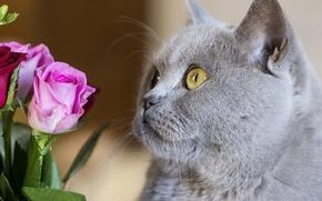 Картинка кошка, кот, морда, цветы, розы, британец, Британская короткошёрстная