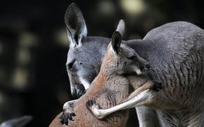 Обои обнимашки, материнская любовь, материнство, детёныш, кенгуру