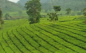 Картинка зелень, чай, остров, кусты, tea, Ява, плантации чайные, Java, tea plantation