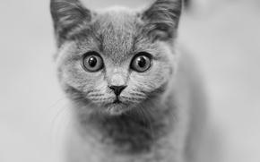 Обои взгляд, мордочка, котёнок, глазища, чёрно-белая, монохром