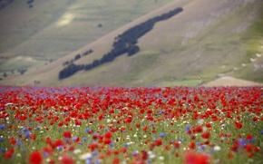 Картинка поле, цветы, мак, склон, луг, Италия
