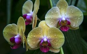 Картинка лепестки, орхидея, желтый, макро, капли