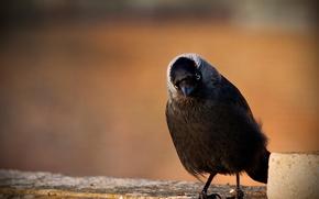 Картинка природа, птица, галка