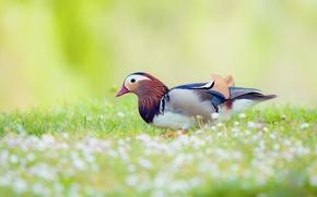 Картинка поле, цветы, птица, размытость, утка, Мандаринка