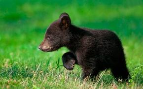 Обои зелень, медвежонок, травка, гуляет, ищет маму