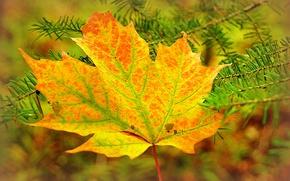 Картинка осень, лист, ветка, клен, хвоя