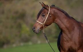 Обои морда, конь, лошадь, грация, профиль, шея, красавец, гнедой, (с) OliverSeitz