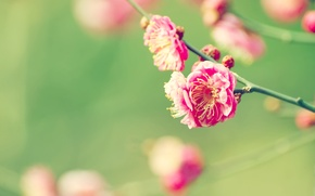 Картинка Flowers, Wallpaper, Japanese Apricot