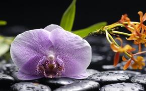 Обои orchid, phalaenopsis, lilac, petals, beauty, water, drops
