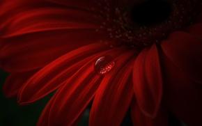 Картинка цветок, красный, капля, лепестки, гербера
