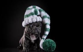 Картинка шапка, собака, щенок, французский бульдог