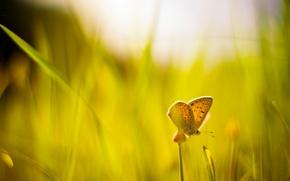 Картинка зелень, трава, макро, фон, widescreen, обои, бабочка, размытие, wallpaper, солнечный день, широкоформатные, butterfly, background, macro, …