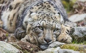 Картинка кошка, взгляд, камни, ирбис, снежный барс, ©Tambako The Jaguar