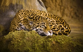Картинка кошка, отдых, лежит, ягуар