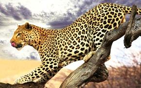 Картинка язык, леопард, профиль, пятнистый, крадётся, сухое дерево
