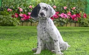 Обои трава, собака, щенок, английский сеттер