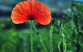 Картинка поле, цветок, макро, красный, один, размытость, Мак, бутоны