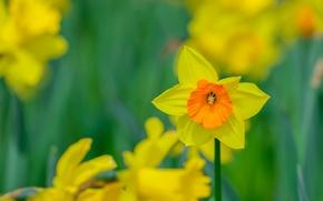 Обои весна, нарцис, лепестки, луг, сад