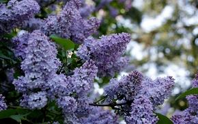 Обои весна, spring, цветущая сирень, blossoming lilac