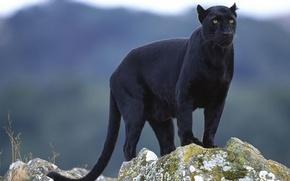 Картинка взгляд, пантера, чёрная