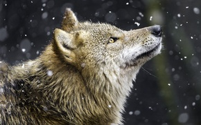 Картинка снег, волк, хищник, профиль