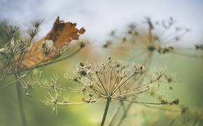 Картинка autumn, leaf, decay, Queen Anne's lace, daucus carota