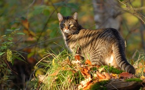 Картинка кошка, трава, кот, листья, природа, прогулка