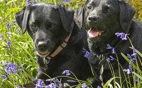 Картинка собаки, цветы, колокольчики, парочка, Лабрадор-ретривер