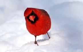 Картинка зима, снег, птица, перья, клюв, кардинал